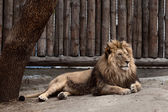 Lion at the zoo — Stock Photo