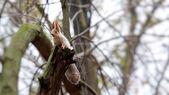 Veverka na stromě — Stock fotografie