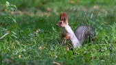 A little squirrel in a park — Stockfoto