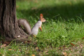 A little squirrel in a park — Stock Photo