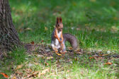 A little squirrel in a park — Stok fotoğraf