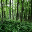Stock Photo: Pontic rhododendron, evergreen forest