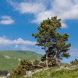 Stock Photo: Pine over precipice