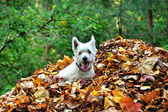 Dog and leaves in autumn — Stock Photo