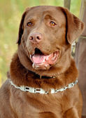 Braune labrador retriever — Stockfoto