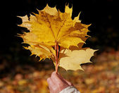 A bouquet of maple leaves — Stock Photo