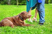 Labrador lying on the grass — Stock Photo