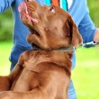 Stock Photo: Labrador retriever