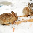 Two rabbits in the snow — Stock Photo
