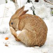 Winter rabbit — Stock Photo