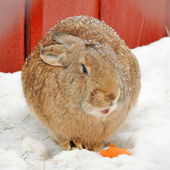 Winter rabbit — Stock Photo