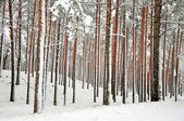 Snow-covered tree trunks — 图库照片