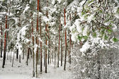 Snow-covered tree trunks — Stockfoto