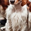Stock Photo: Cocker Spaniel