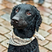Head of black curly retriever — Stock Photo