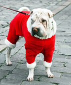 Pedigree dog for a walk — Stock Photo