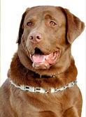 Brown Labrador Retriever — Foto de Stock