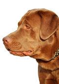 Brown labrador in profile — Stock Photo