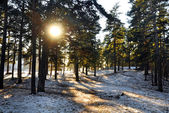 Sun through the winter forest — Stock Photo