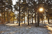 Sun through the winter forest — Foto Stock