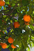 Orange fruit on tree — Stock Photo