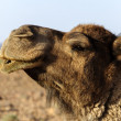 Morocco Dromedary head — Stock Photo