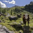 Cuneaz, Cows grazing in the mountains — Stock Photo