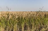 Rice, Lomellina (North Italy) — Stock Photo
