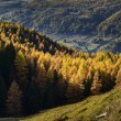Cuneaz, Yellow larches in autumn (North Italy) — Стоковая фотография