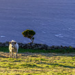Stockfoto: Cow on pasture, Azores archipelago (Portugal)