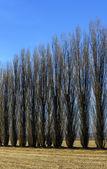 Poplars in autumn, Lomellina (North Italy) — Foto de Stock