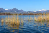 Cane thicket on lake Alserio  (North Italy) — Stock Photo