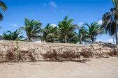 ヤシの木、pititinga、出生 (ブラジルと侵食のビーチ) — ストック写真