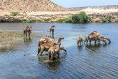 Dromedaries at Wadi Darbat, Taqah (Oman) — 图库照片