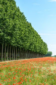 Poppy flowers and poplars, Lomellina (Italy) — ストック写真