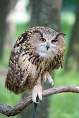 Owl on a branch — Stock Photo