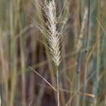 Ripe wheat — Stock Photo