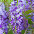 Wisteria — Stock Photo #34657011