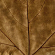 Autumn leaf background, abstract dry texture of a brown grunge plant — Stock Photo #50417529
