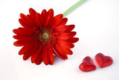 Red gerbera daisy — Foto Stock