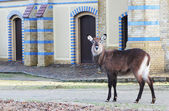 Eastern cloven-hoofed animal on the building background. — Stock Photo
