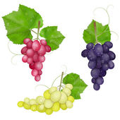 Different varieties of grapes with leaves on white background — Stock Vector