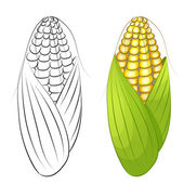 Two cobs of corn isolated — Stock Vector