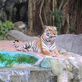 королевский бенгальский тигр — Стоковое фото