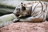 Tiger crouching — Stock Photo