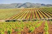 Vineyard landscape in spring. — Stock Photo