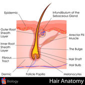 Hair Anatomy — Stok Vektör