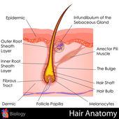 头发解剖 — 图库矢量图片