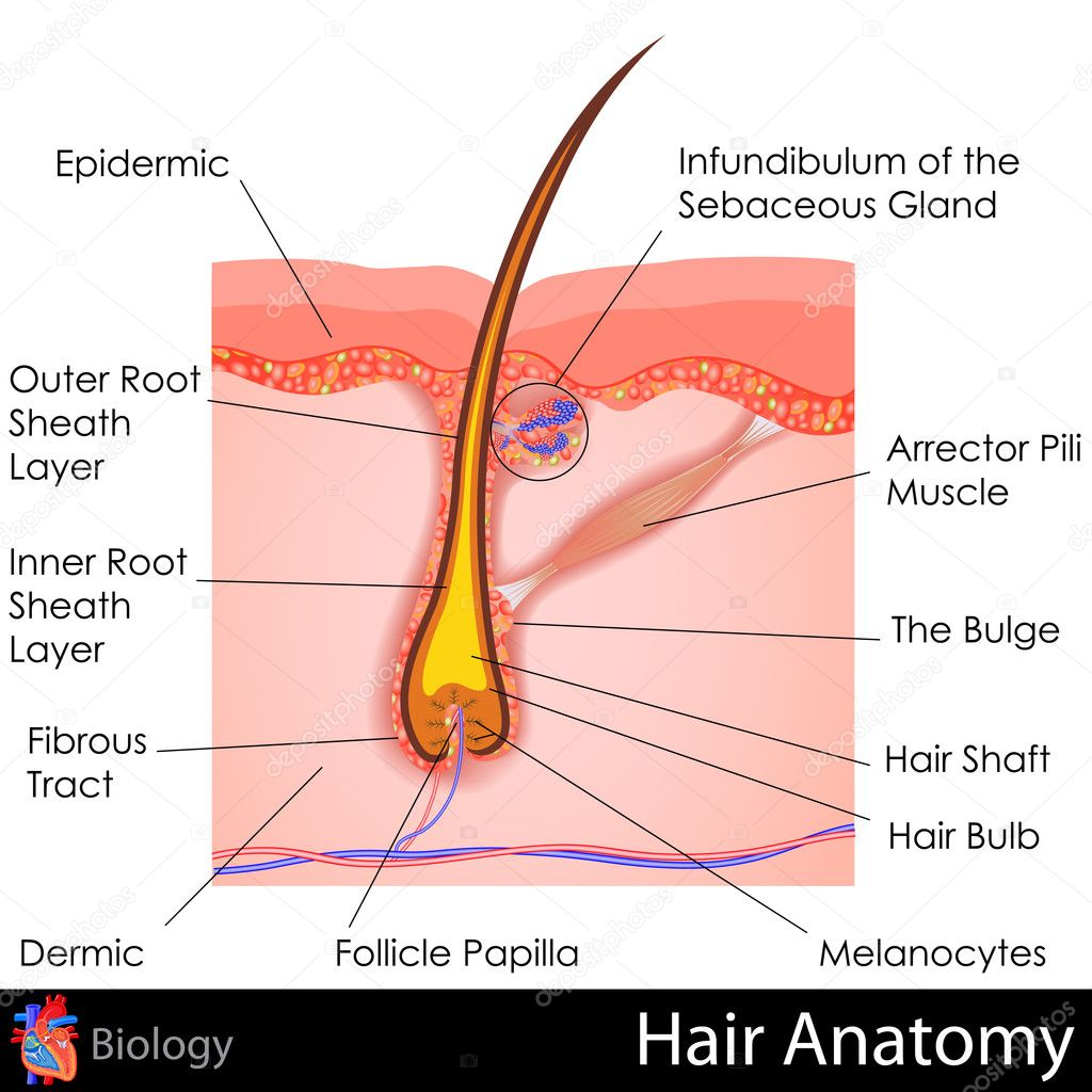 Human hair anatomy