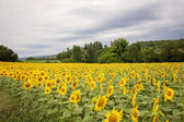 Sunflower field in a cloudy day in Provence, France — Stock Photo